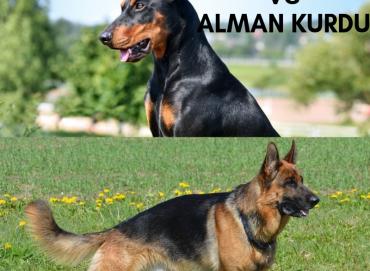 Doberman ve Alman Kurdu Cinsi Köpekler